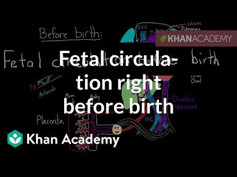 Fetal circulation right before birth (video) | Khan Academy