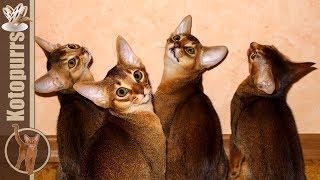 Смешные абиссинские котята прыгают в замедленной съемке [kotopurrs]