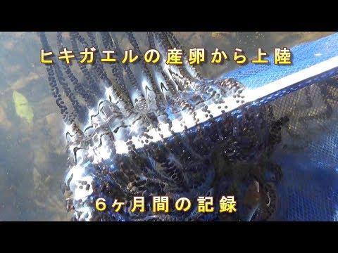 , title : 'ニホンヒキガエルの産卵から上陸までの6ヶ月間の記録 ドキュメント