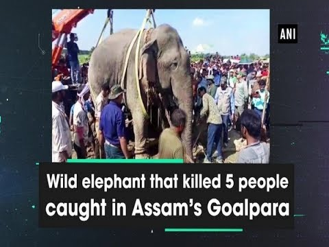 Wild elephant that killed 5 people caught in Assam's Goalpara