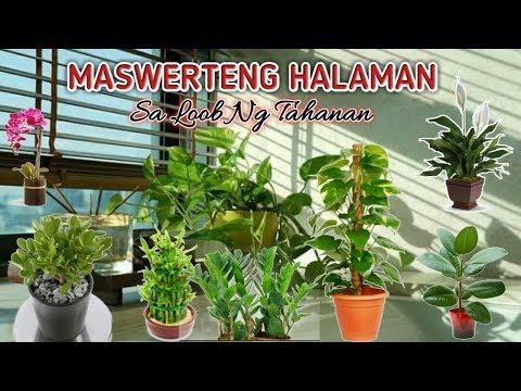 MASWERTENG HALAMAN SA LOOB NG TAHANAN AT ANG TAMANG PAGAKAKALAGYAN || 7 LUCKY PLANTS