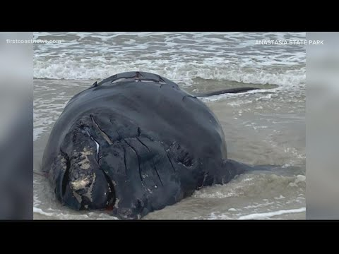 First Right Whale Calf Death of the Year Reported in Florida