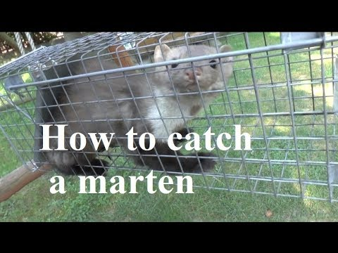 How to catch a marten, marder -successful trap - protect your car and home