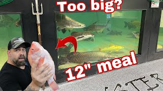 """MONSTER FISH FEEDING!! DID THE ARAPAIMA SWALLOW A 12"""" TILAPIA WHOLE"""