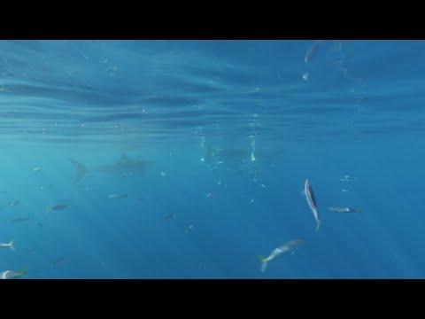 Ilha Guadalupe: local para conhecer o tubarão-branco