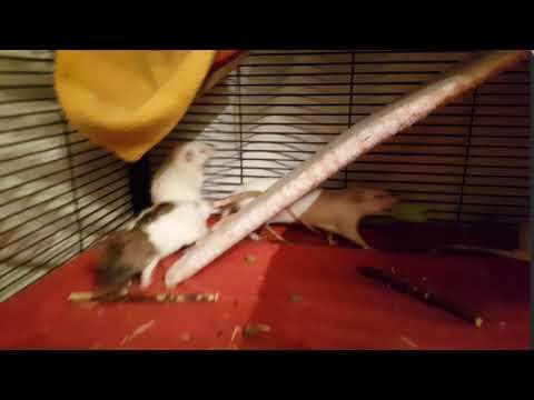 Venova, an adoptable Rat in Saint Paul, MN