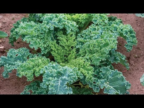 , title : 'Everything You Need to Know About Growing Kale