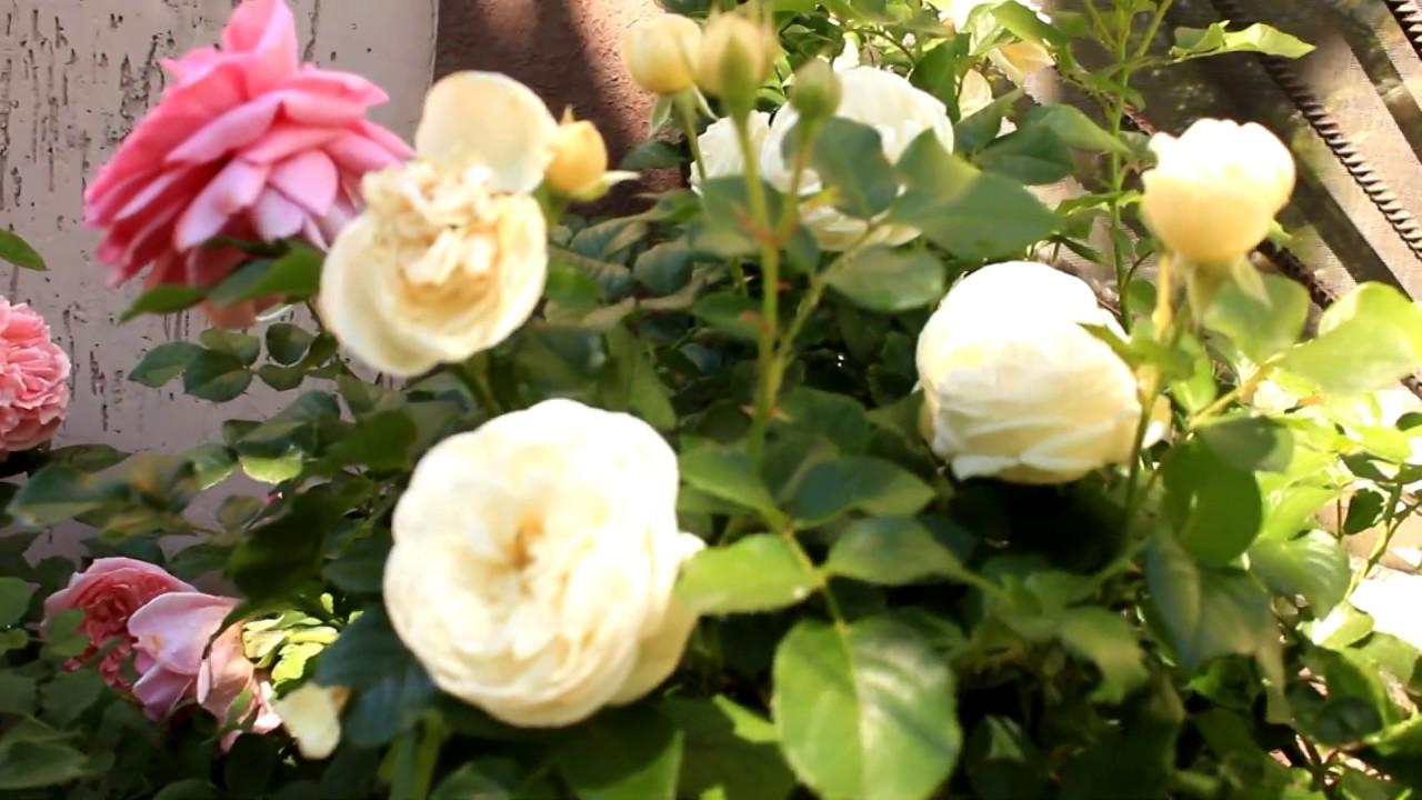 Розарий Артемис, Чиппендейл Гранд Могул Принцесс Александра оф Кент 2-е цветение 2018г год