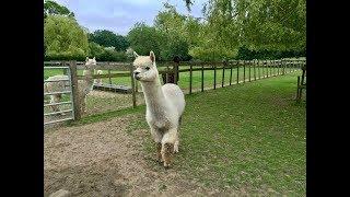 영국풍경 - 알파카 농장 (Alpaca Farm)