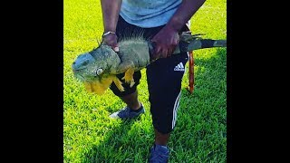 Hunting Monster iguanas in florida: residents get mad