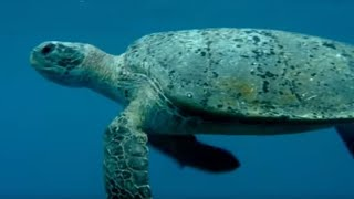 The Ocean Food Chain | Turtle's Guide to the Pacific | BBC Earth