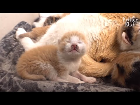 What Made This Angel Kitten's Mom Become A Bad Mother? (Part 2)   Kritter Klub