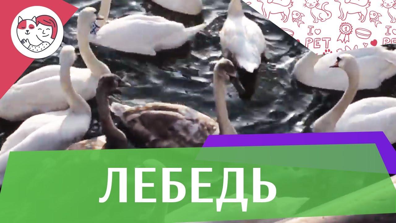 Лебеди Питание на ilikepet