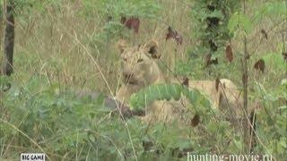 Охота на львов в Африке. Охота в Танзании