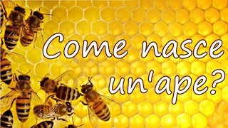 Come nasce un'ape?   Entomologando