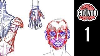 Anatomía para dibujo de músculos