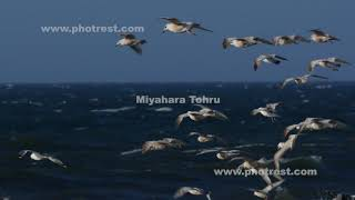 飛翔するセグロカモメ