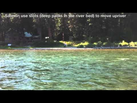 Puyallup river fishing report how to fish the puyallup video for Puyallup river fishing
