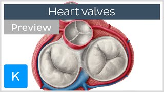 Valves of the heart (preview) - Human Anatomy | Kenhub