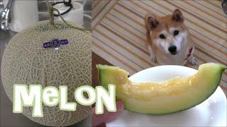 柴犬小春 【ASMR】頂き物のメロンをおすそ分け!MELON 音フェチ