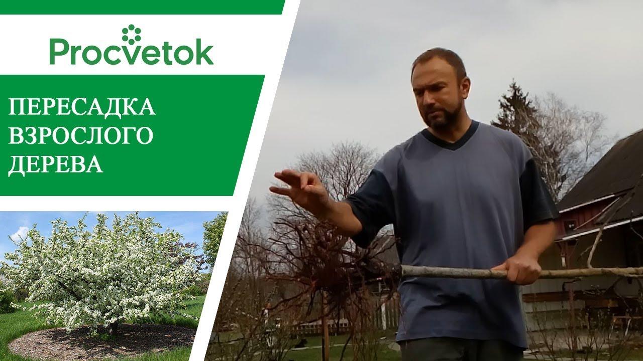 Пересадка яблони. Как правильно пересадить плодовые деревья