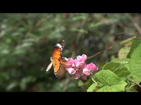 ペナンのEntopiaのマダラチョウ Daninae butterflies of Entpia