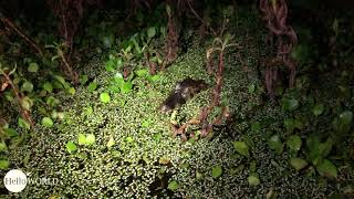 Aufmerksam: kleiner Kaiman im Feuchtgebiet
