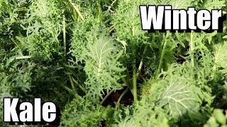 How to Grow Kale for Fall/Winter Harvests