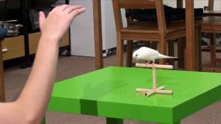 Duke Budgie Parakeet Wave Foot Trick On Cue