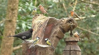 Birds Galore - Bird Sounds in The Forest