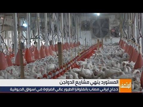 شاهد بالفيديو.. الديوانية .. دجاج ايراني مصاب بإنفلونزا الطيور