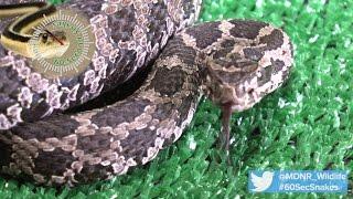 60-Second Snakes: The Eastern Massasauga Rattlesnake