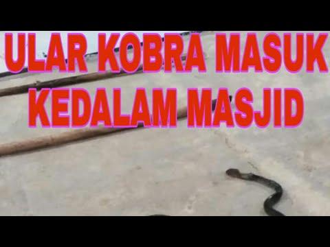 Ular Kobra Hampir Masuk Masjid Polres Mentawai