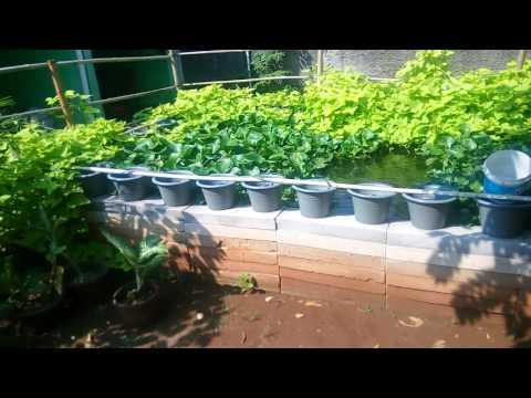 Video Budidaya Ikan Gurame di Kolam Terpal