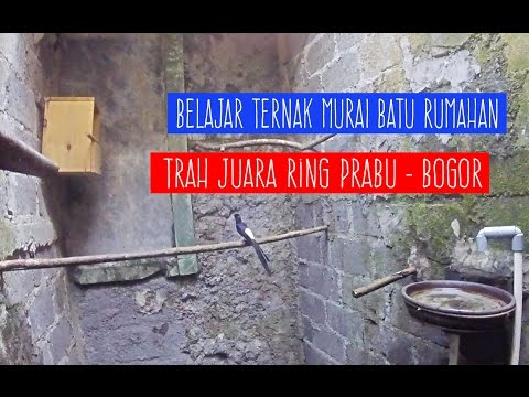 Video KISAH SUKSES : Belajar Ternak Murai Batu Rumahan RING PRABU Bogor