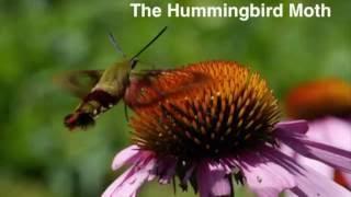 The Hummingbird Moth: A Beautiful and Bizarre Creature