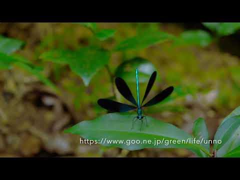 リュウキュウハグロトンボの飛翔