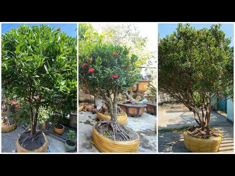 PHÔI MAI VÀNG PHÔI TRANG ngày 9/12/2019 Tâm 😍 bonsai can tho
