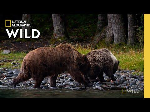 Wild Bears Catch Salmon | Alaska Animal Rescue