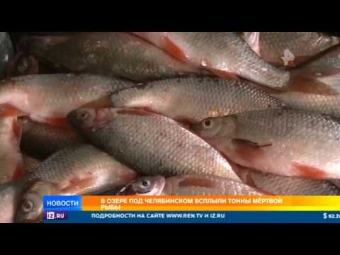 Рукотворная катастрофа: в озере Челябинска всплыли тонны мертвой рыбы