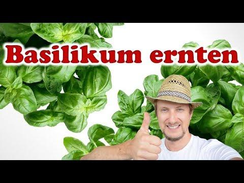 Basilikum ernten ☀ Mein Balkon Garten Tipp
