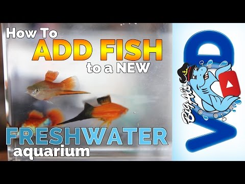 How to Add Fish to a New Freshwater Aquarium! – Big Al's  (Video)