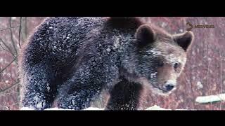 Medveles Tusnádfürdő Máté Bence Medvék a les előtt
