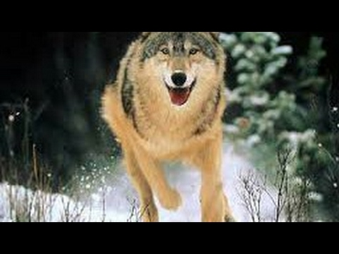 #Paws by Claws ep.5    #kristina kashytska #wolf toys