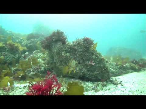 水中映像:メバル