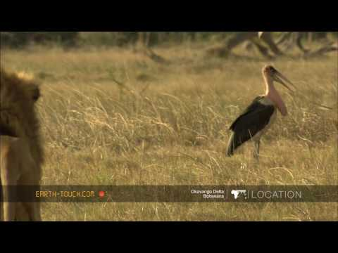 أفلام الطبيعة HD … الأسد والطيور