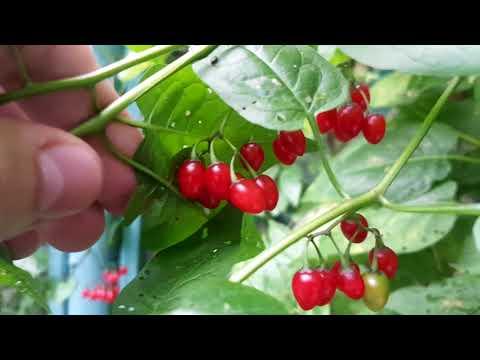 Паслен сладко горький, красные ягоды фиолетовые цветы