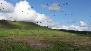 Sacramento County Tricolored Blackbird colony April 2017