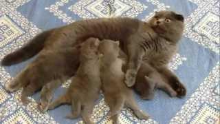 британские кошки, Шотландские вислоухие - кормление