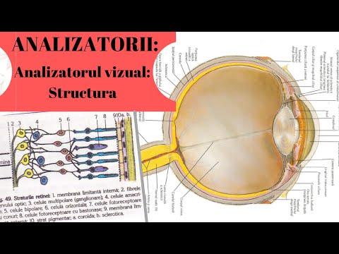 Leucocite 10-20 în câmpul vizual